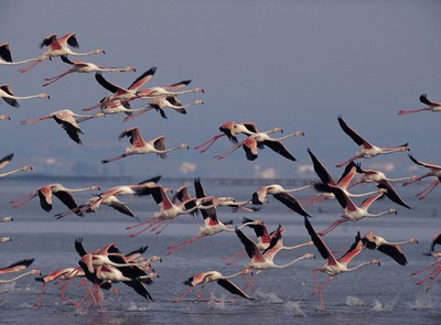 Flamingos in the Ebro Delta Natural Park (© Ferran Aguilar)